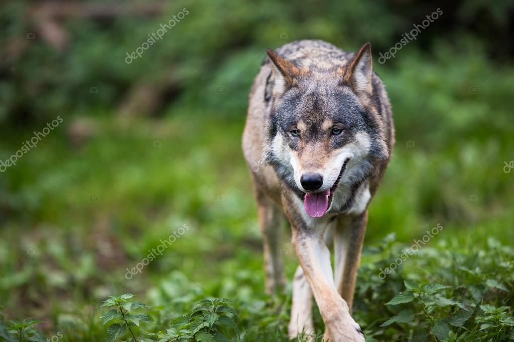 Gray,Eurasian wolf (Canis lupus)