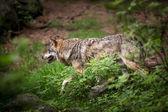 szürke, eurázsiai Farkas (canis lupus)
