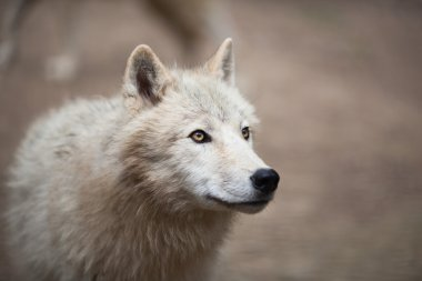 Arctic Wolf, Polar Wolf or White Wolf