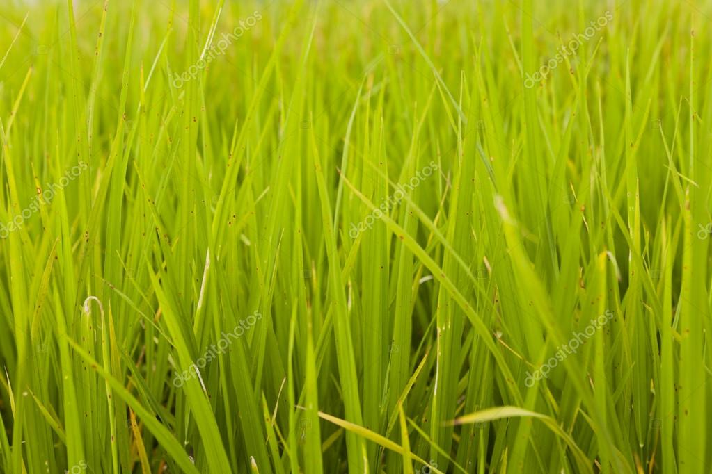 Rice plant in rice field, Hong Kong.