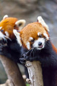 Photo Red panda bear
