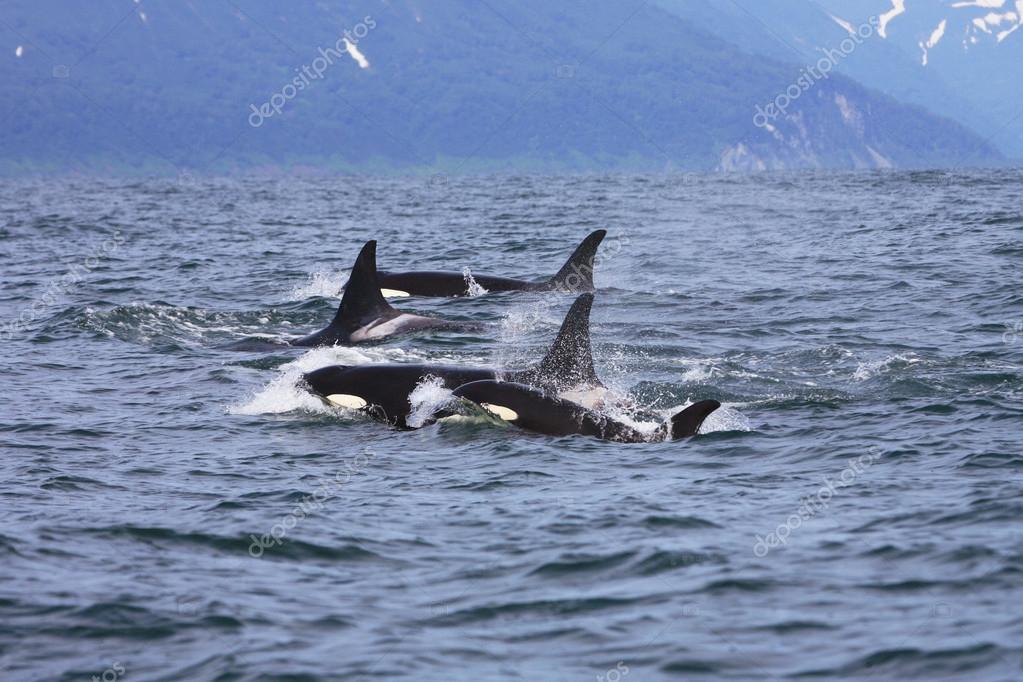 orcas #hashtag