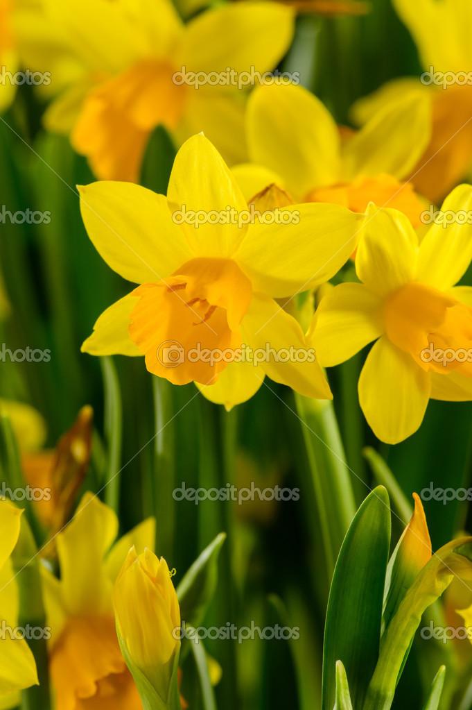 Fiori primaverili giallo narciso foto stock for Narciso giallo