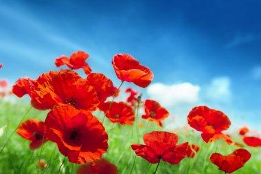 """Картина, постер, плакат, фотообои """"цветы мака на поле """", артикул 12699038"""