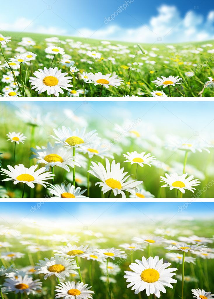 banners of spring fields of daisy flowers