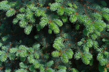 Blue spruce tree close-up. Christmas background