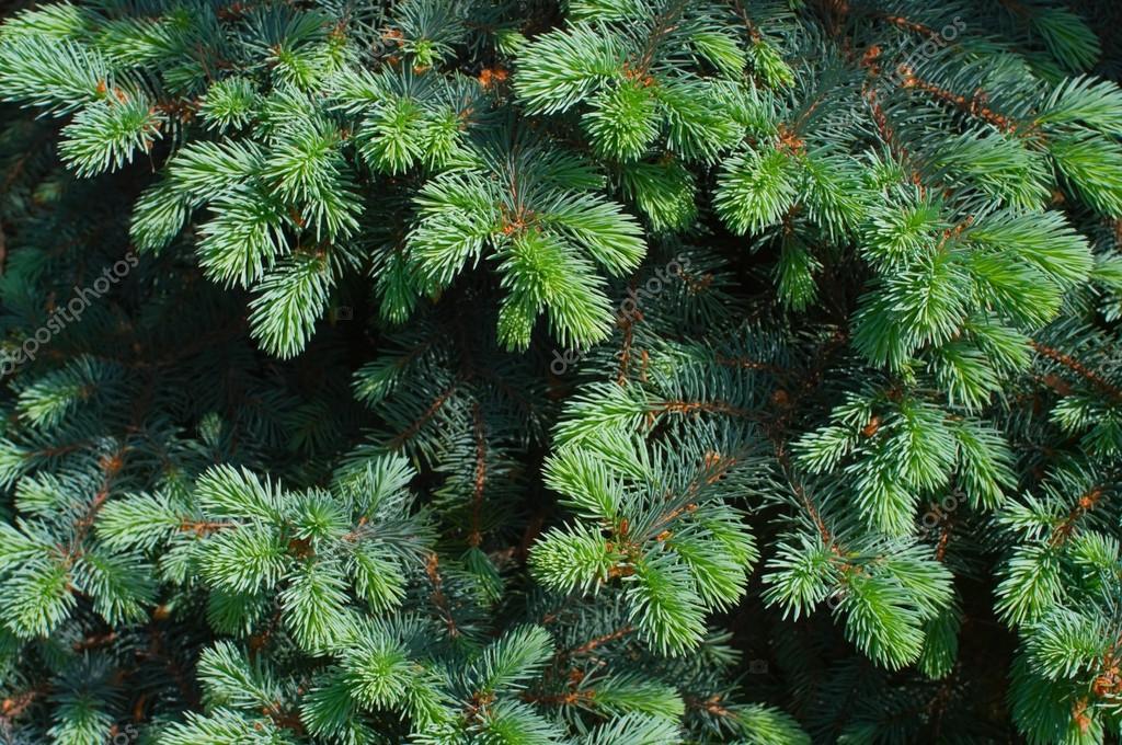 Blue spruce tree close-up. Christmas background