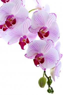 Flowering branch of pink orchids.