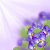 fialový maceška