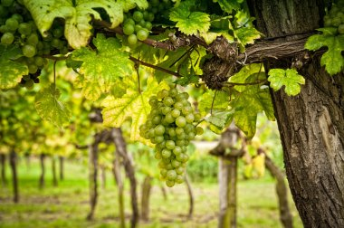 Vineyard with White Grapes