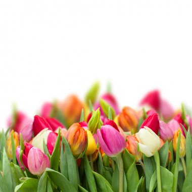 Growing fresh tulips