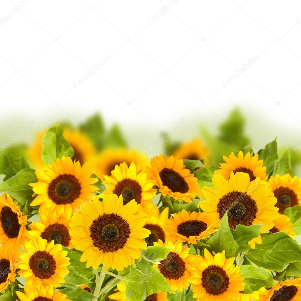 Фотообои Bight sunflower field