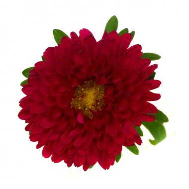 Red aster flower close up