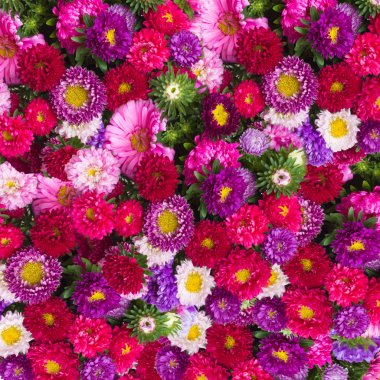 Aster flowers background