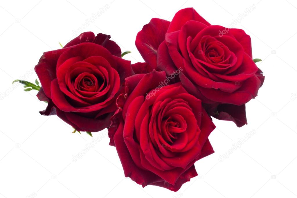 Three dark red roses