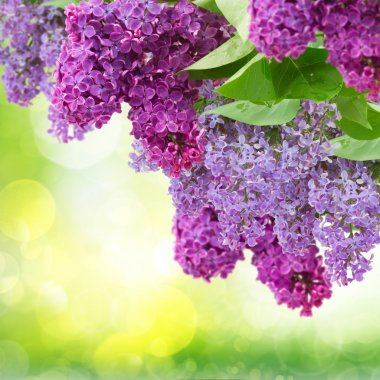 Lilac flowers tree
