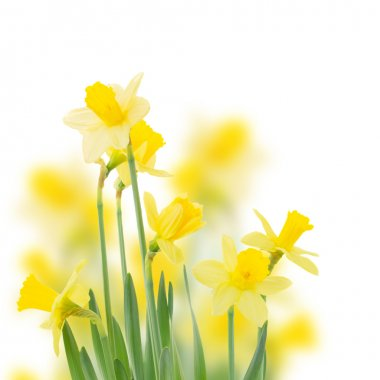 Spring growing daffodil flowers  close up