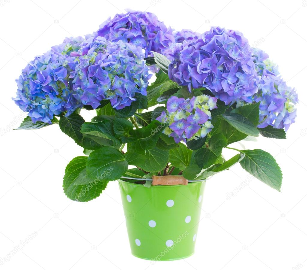 Blue hortensia flowers in green pot