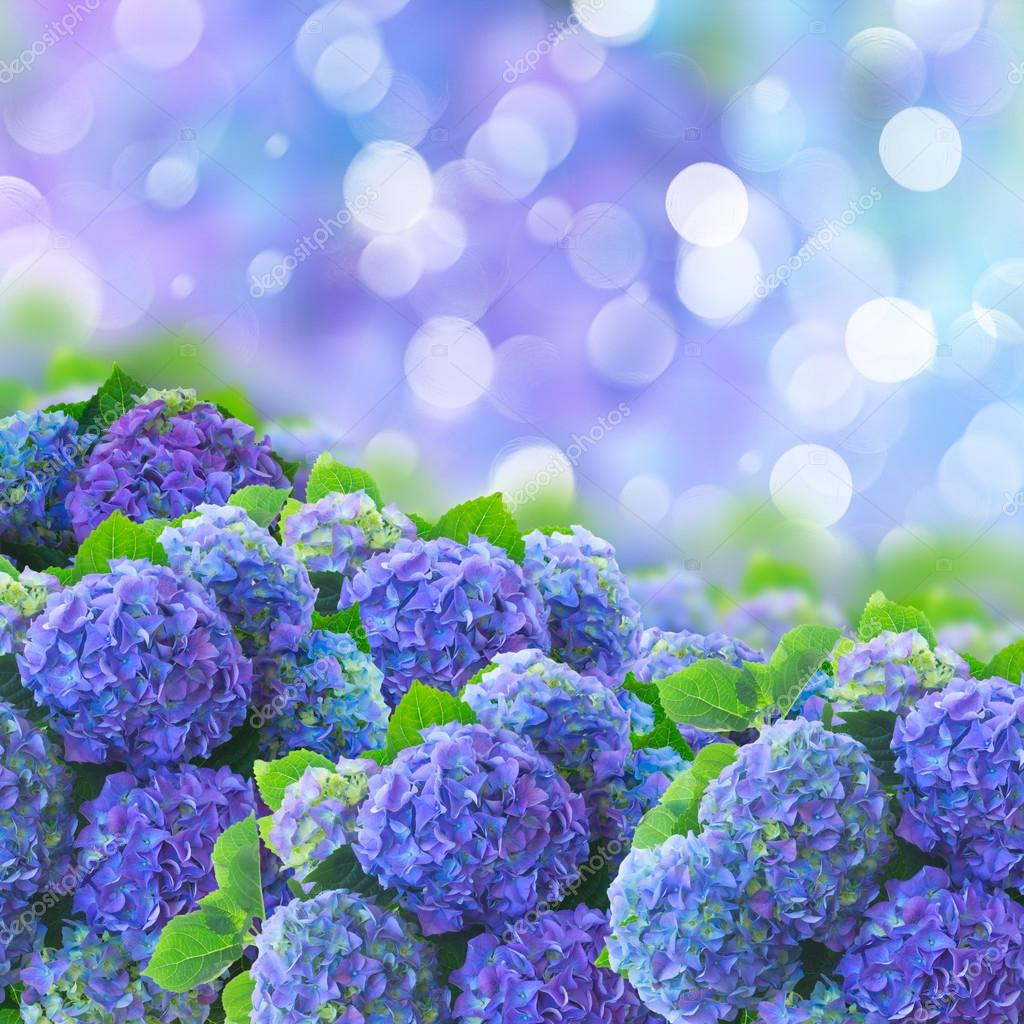 Blue hortensia flowers