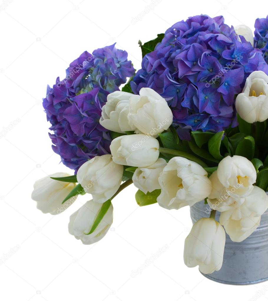 White tulips and blue hortensia flowers close up