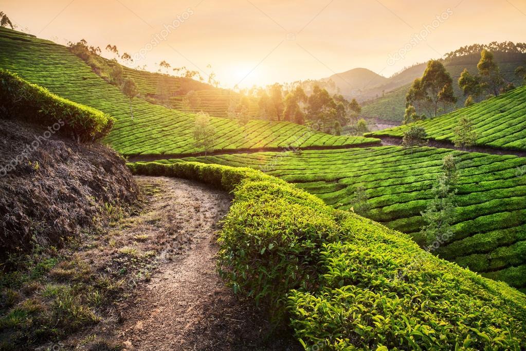 Tea plantations at sunset
