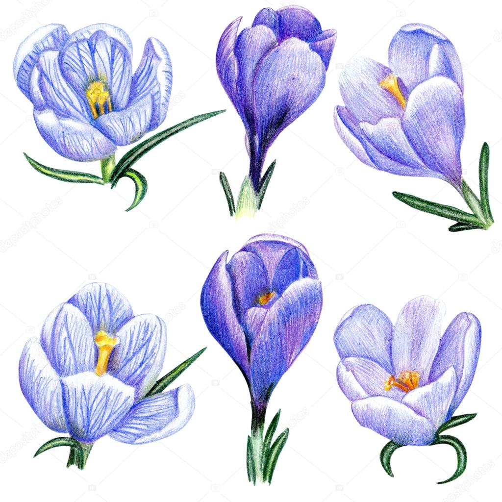 Hand-drawn crocuses