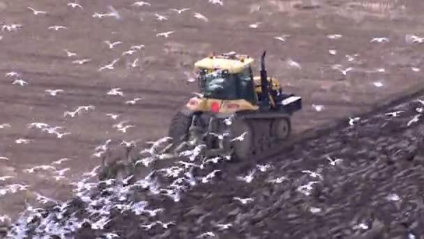 traktor řidič orbě polí a hladoví ptáci sedá