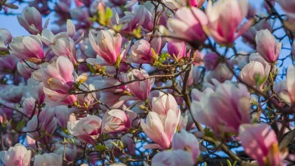 růžové magnólie