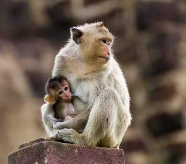 Baby monkey and mother