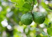 Pijavice vápno nebo bergamotu