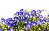 Fotografia fiori di Ipomea blu su bianco
