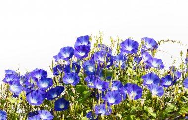 Blue Morning Glory flower on white