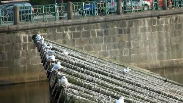 rackové vylétají z dřeva řeky Vltavy v Praze