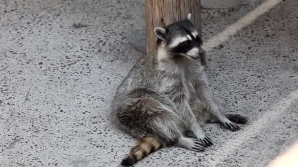 raccoon sit in shadow and feed