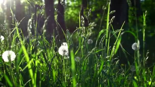 tráva, pampeliška v jarní slunce s trsy semen topolu