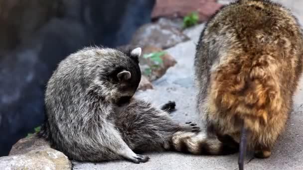 raccoon in zoo