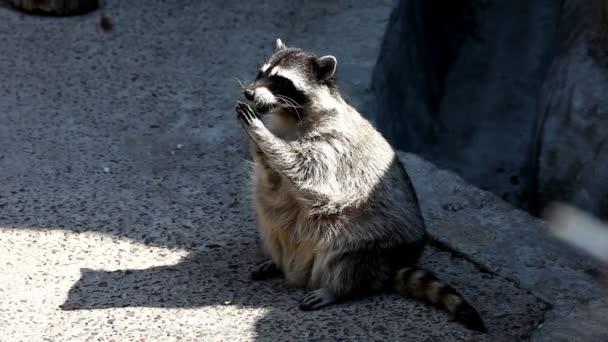 raccoon sit in shadow