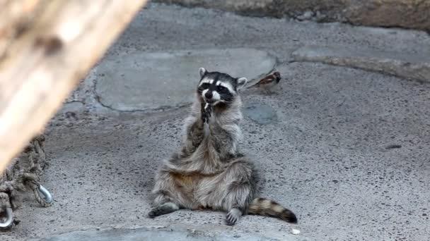 raccoon in zoo eat cookie