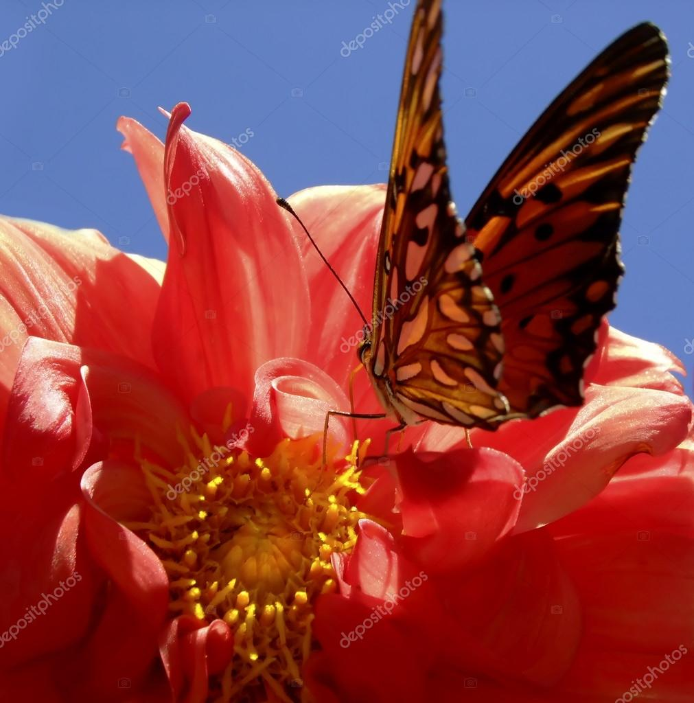 butterfly on the center of red dahlia