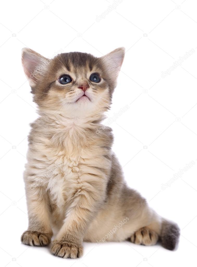 ładny Kot Somalijski Zdjęcie Stockowe Nelik 36629493