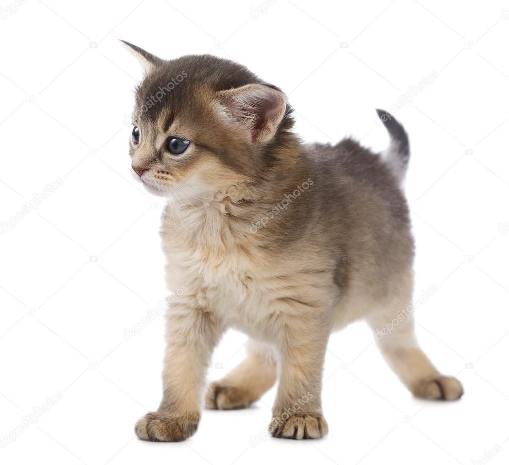 ładny Kot Somalijski Zdjęcie Stockowe Nelik 36629883