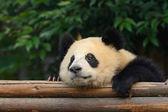 Fotografie Giant panda bear