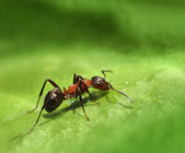 Lone ant on green leaf