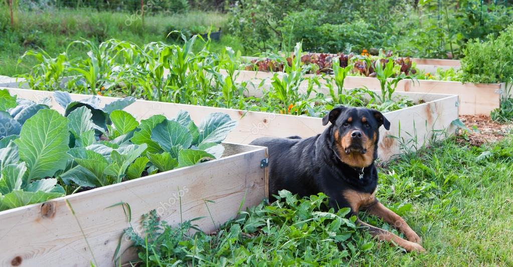 Raised Garden With Rottweiler