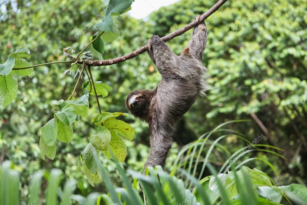 Three Toed Sloth Looking