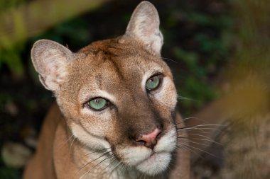Green Eyed Cougar