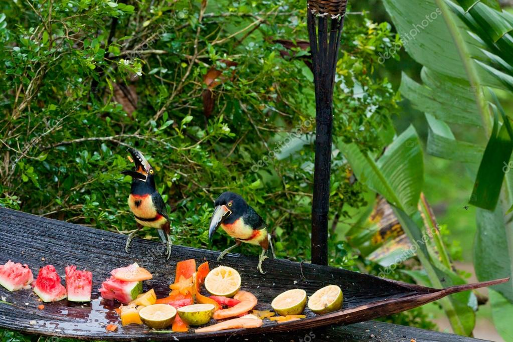 Aracari Toucans