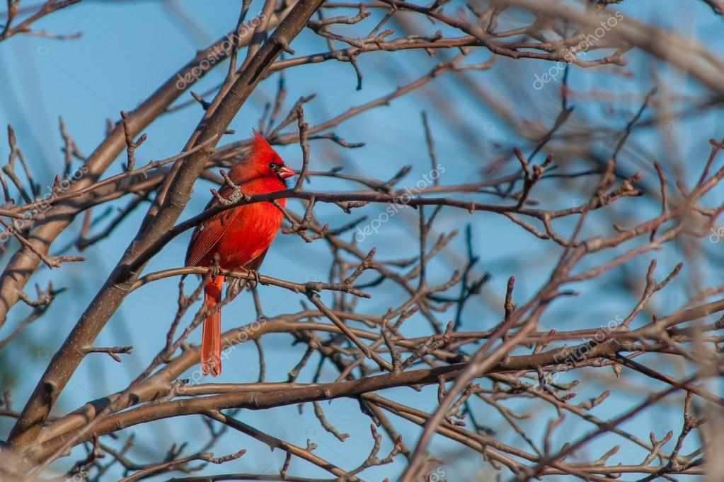 Beautiful Red Cardinal Perched in a Tree