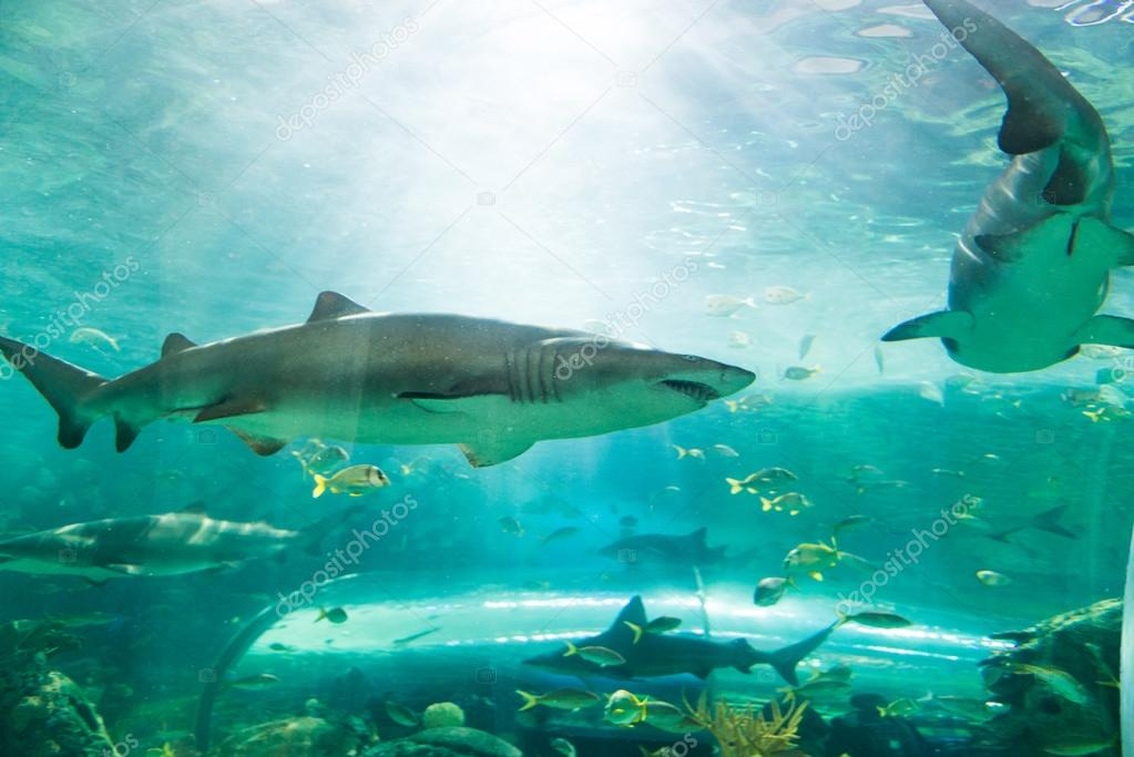 Shark or sharks on its environment
