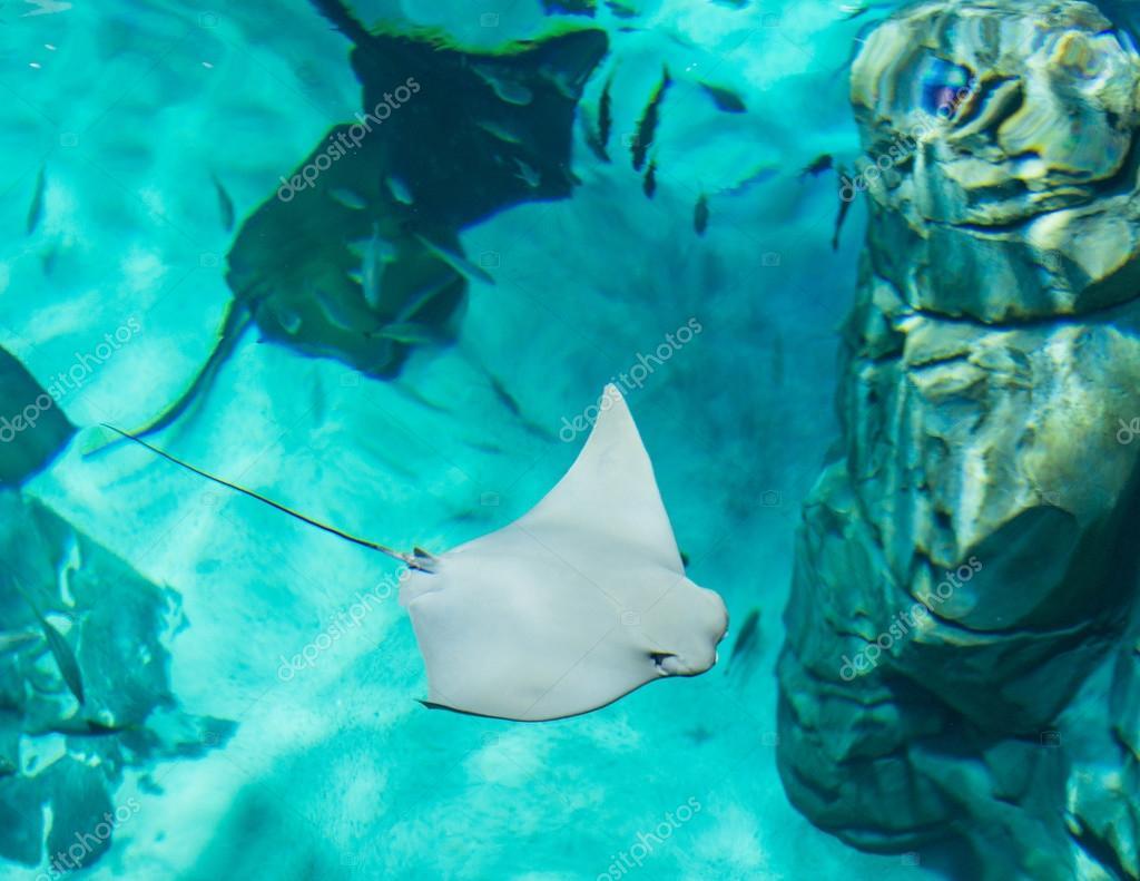 Mantaray or manta ray from above
